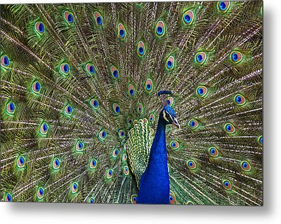 Indian Peafowl Male With Tail Fanned Metal Print by Tim Fitzharris