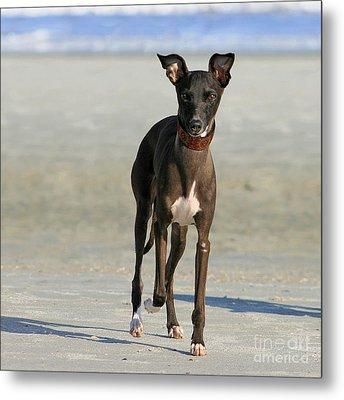 Italian Greyhound On The Beach Metal Print