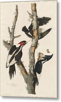 Ivory-billed Woodpecker Metal Print by Rob Dreyer