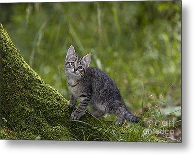 Kitten On A Mossy Tree Metal Print