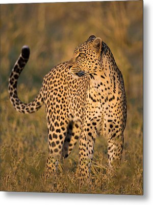 Leopard Panthera Pardus, Serengeti Metal Print