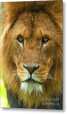 Lion Metal Print by Andrew Michael