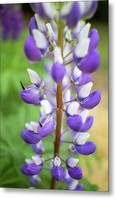 Metal Print featuring the photograph Lupine Blossom by Robert Clifford