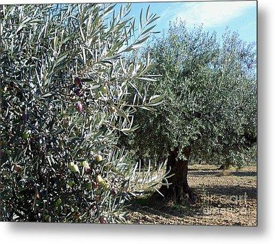 Olive Trees Metal Print by Judy Kirouac