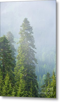 Pine Tree Metal Print by Svetlana Sewell