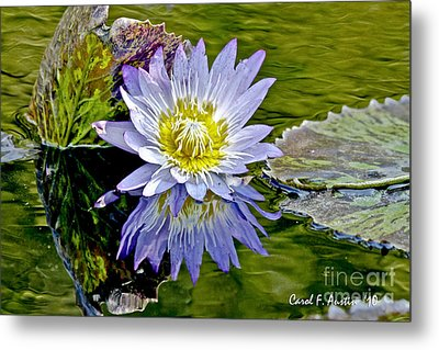 Purple Water Lily Pond Metal Print by Carol F Austin