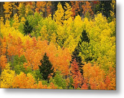 Quaking Aspen And Ponderosa Pine Trees Metal Print by Ralph Lee Hopkins