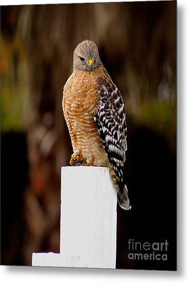 Red Tail Hawk Metal Print by Marc Bittan