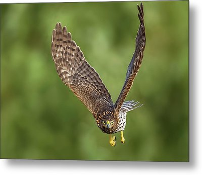 Metal Print featuring the photograph Red-tailed Hawk by Peter Lakomy