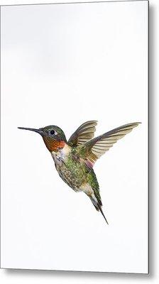 Ruby-throated Hummingbird Archilochus Metal Print by Thomas Kitchin & Victoria Hurst