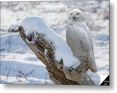 Metal Print featuring the photograph Snowy Owl by Jim  Hatch