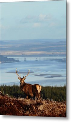Stag Overlooking The Beauly Firth And Inverness Metal Print