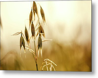 Summer Oat Metal Print by Nailia Schwarz