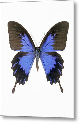 Swallowtail Butterfly Metal Print by Lawrence Lawry