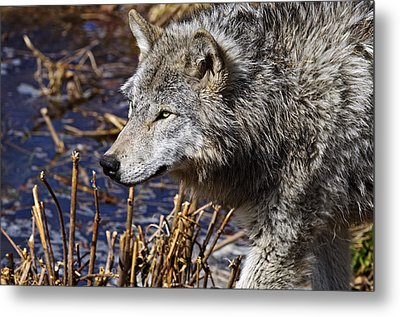 Metal Print featuring the photograph Timber Wolf by Michael Cummings