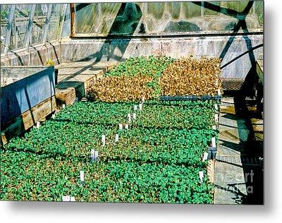 Transgenic Cotton Plants Metal Print by Inga Spence