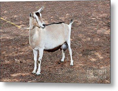 Transgenic Goat Metal Print by Inga Spence