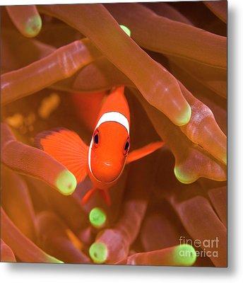 Tropical Fish Clownfish Metal Print by MotHaiBaPhoto Prints