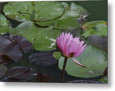 Water Lilies Metal Print by Linda Geiger