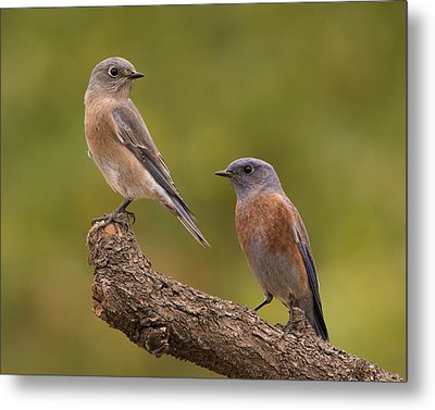 Western Bluebird Metal Print by Doug Herr
