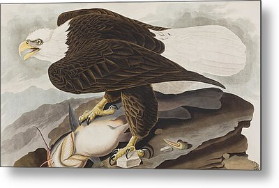White-headed Eagle Metal Print by John James Audubon