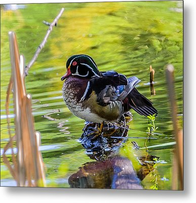 Wood Duck Metal Print by Jerry Cahill