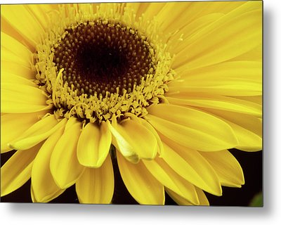 Yellow Gerbera Daisy Metal Print by JT Lewis