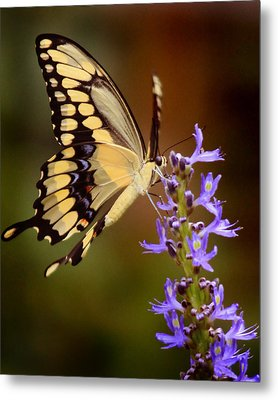 Yellow Swallowtail Metal Print by Joseph G Holland