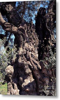2000 Year Old Olive Tree Metal Print by Thomas R Fletcher