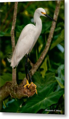 White Egret Metal Print by Christopher Holmes