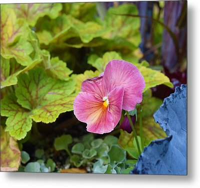 2015 After The Frost At The Garden Pansies 3 Metal Print by Janis Nussbaum Senungetuk