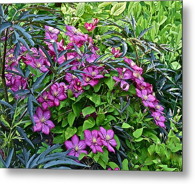 2015 Summer At The Garden Beautiful Clematis Metal Print by Janis Nussbaum Senungetuk