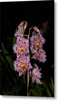 Cattleya Style Orchids Metal Print