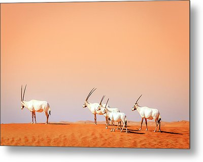 Metal Print featuring the photograph Arabian Oryx by Alexey Stiop
