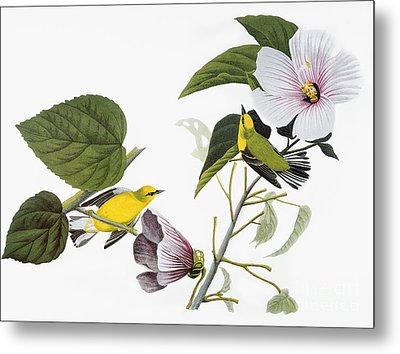 Audubon: Warbler, (1827-38) Metal Print