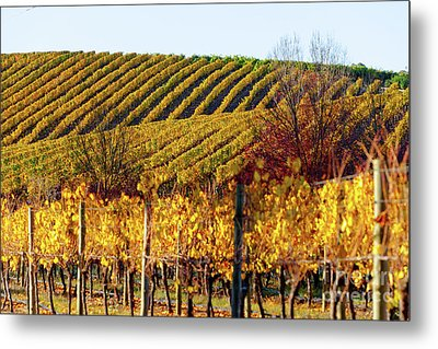 Metal Print featuring the photograph Autumn Vines by Bill Robinson