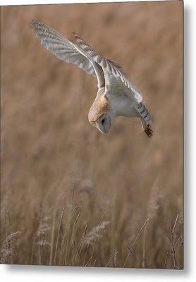Barn Owl In Flight Metal Print by Ian Hufton