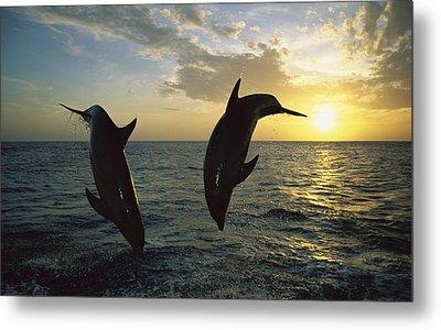 Bottlenose Dolphin Tursiops Truncatus Metal Print by Konrad Wothe