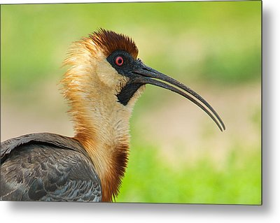 Buff-necked Ibis Theristicus Caudatus Metal Print