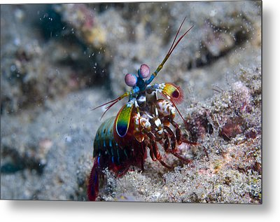 Close-up View Of A Mantis Shrimp, Papua Metal Print by Steve Jones