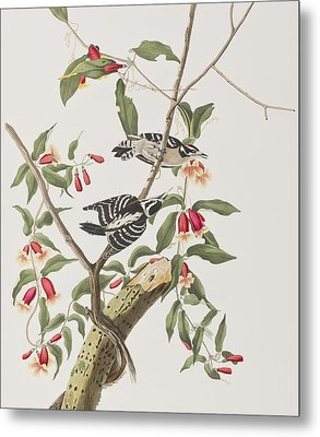 Downy Woodpecker Metal Print by John James Audubon