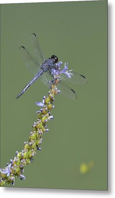 Dragon Fly Metal Print by Linda Geiger