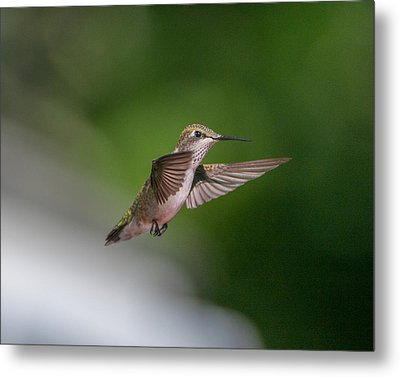 Female Ruby Throated Hummingbird Metal Print