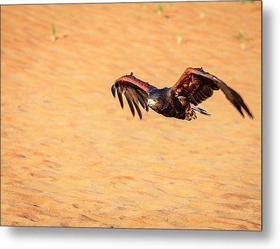 Metal Print featuring the photograph Harris Hawk by Alexey Stiop