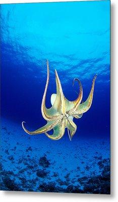 Hawaii, Day Octopus Metal Print