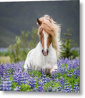 Horse Running By Lupines. Purebred Metal Print by Panoramic Images