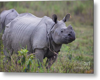 Indian Rhinoceros, India Metal Print