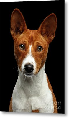 Pedigree White With Red Basenji Dog On Isolated Black Background Metal Print by Sergey Taran