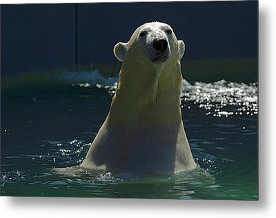 Metal Print featuring the photograph Polar Bear by JT Lewis