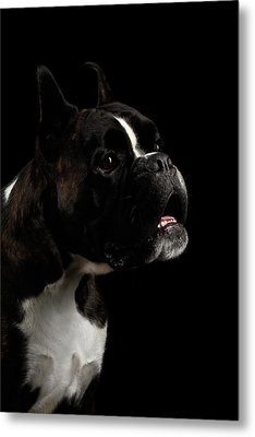 Purebred Boxer Dog Isolated On Black Background Metal Print by Sergey Taran